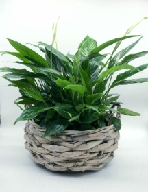 Peace Lily (Spathiphyllum Bellini)