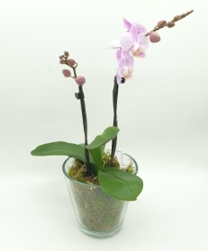 Phalaenopsis Orchid with Glass container